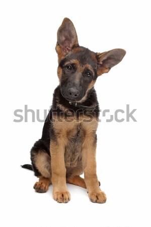 Stock fotó: Juhász · kutyakölyök · fehér · állat · aranyos · fehér · háttér