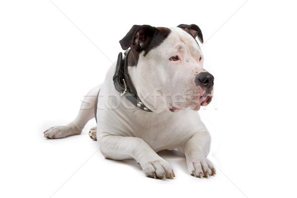 Amerikai bulldog pihen néz előre izolált fehér Stock fotó © eriklam