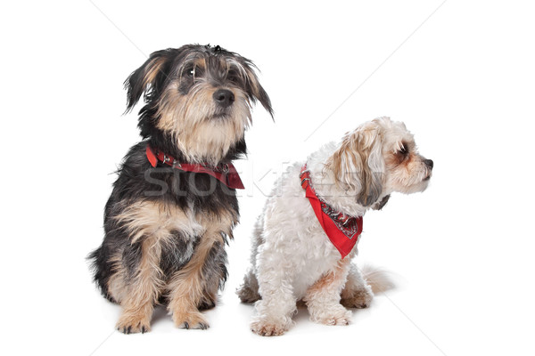 Boomer and maltese dog Stock photo © eriklam