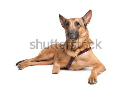 belgium shepherd  (malinois) Stock photo © eriklam