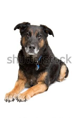 Mixto raza edad perro blanco Foto stock © eriklam