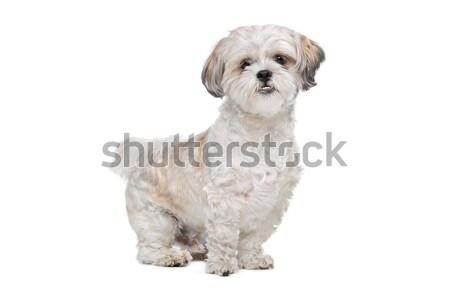 Mista razza cane bianco Foto d'archivio © eriklam