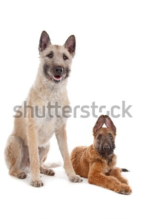 Belgian shepherd and a mixed breed dog Stock photo © eriklam