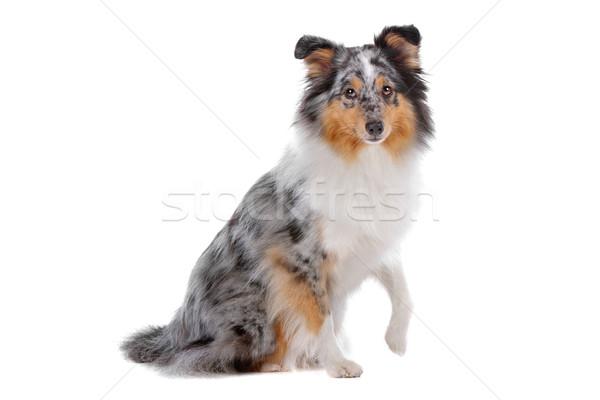 овчарка собака изолированный белый фон сидят Сток-фото © eriklam