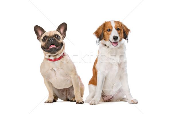 Francia bulldog kutya fehér barátok stúdió Stock fotó © eriklam