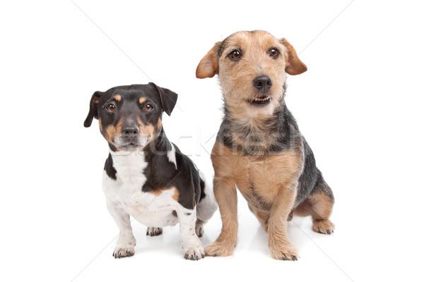 Terrier kutya vegyes fajta fehér Stock fotó © eriklam