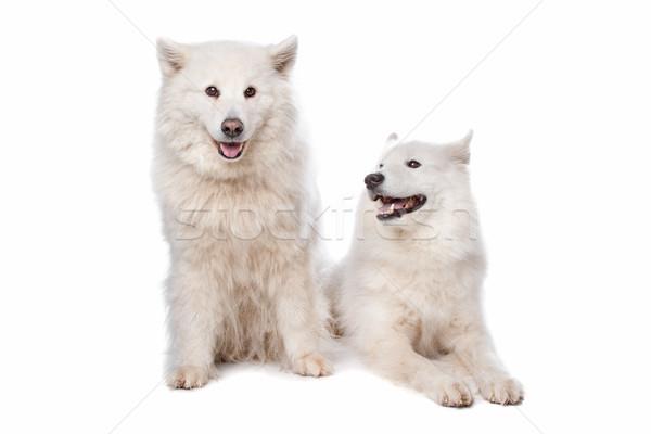 Samoyed (dog) Stock photo © eriklam