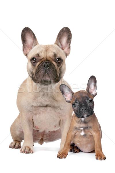 Francia bulldog felnőtt kutyakölyök fehér család Stock fotó © eriklam