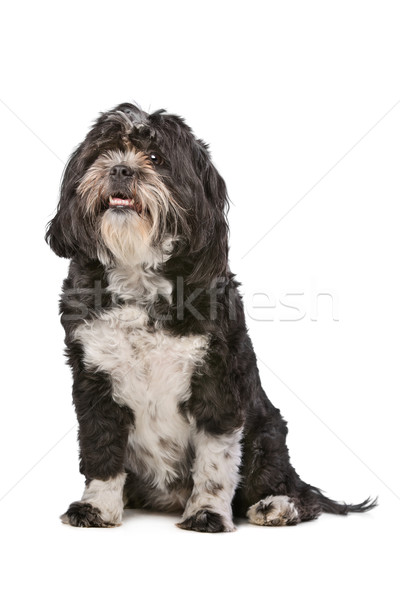 Mixed breed small fluffy dog Stock photo © eriklam
