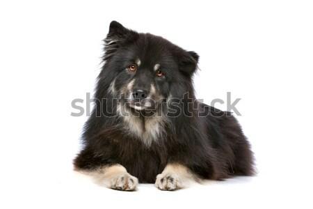 Finnish Lapphund Stock photo © eriklam