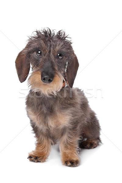 Miniatura jamnik biały psa tle posiedzenia Zdjęcia stock © eriklam
