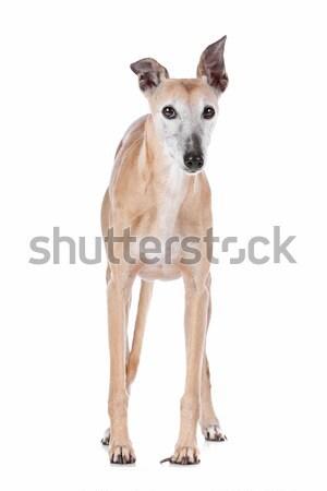 Velho galgo branco estúdio animal de estimação isolado Foto stock © eriklam