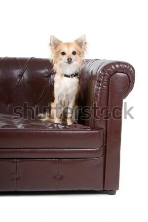Beyaz çoban köpek oturma kanepe bakıyor Stok fotoğraf © eriklam