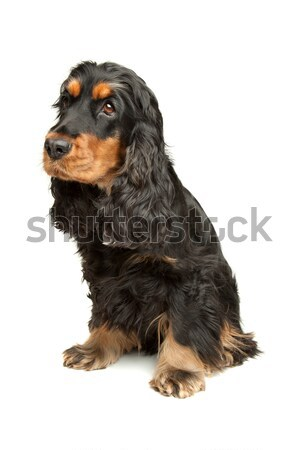 Black and Tan English Cocker Spaniel Stock photo © eriklam