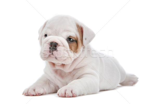 English Bulldog puppy Stock photo © eriklam
