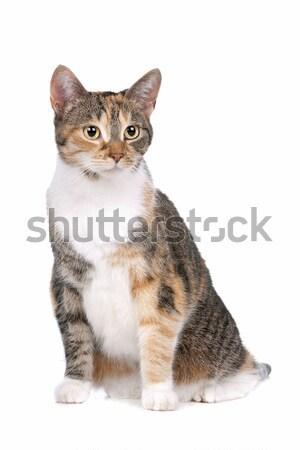 猫 白 背景 スタジオ かわいい ほ乳類 ストックフォト © eriklam