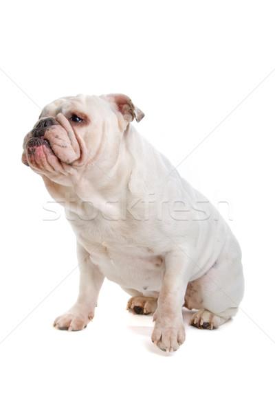 Photo stock: Anglais · bulldog · séance · regarder · vue · isolé