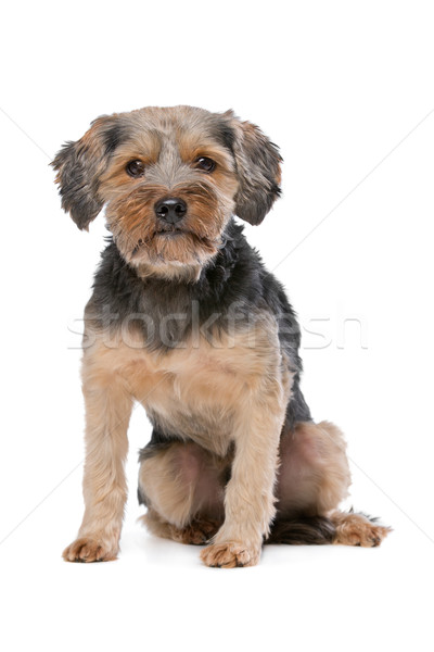 mixed breed Yorkshire Terrier Stock photo © eriklam