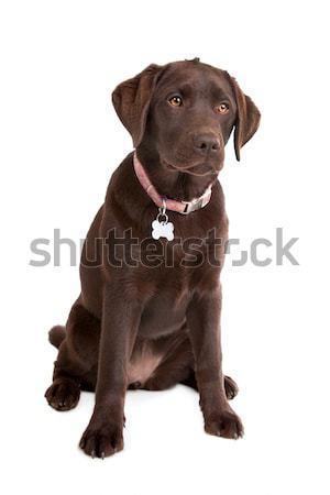 Chocolate labrador retriever branco cão animal marrom Foto stock © eriklam
