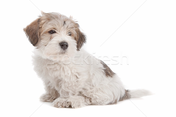 mix Maltese Puppy dog Stock photo © eriklam