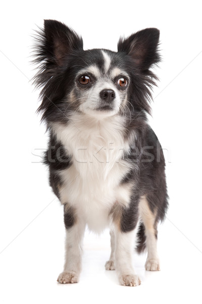 long-haired Chihuahua Stock photo © eriklam