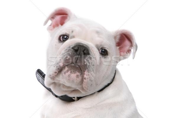 Francês buldogue cachorro cabeça isolado branco Foto stock © eriklam