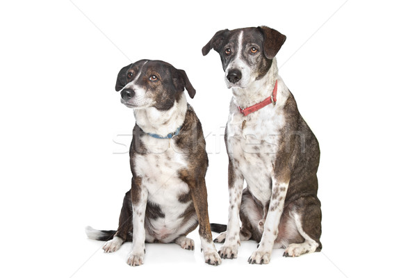 two brown and white mixed breed dogs Stock photo © eriklam