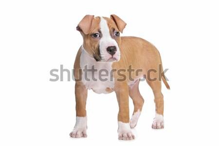 Staffordshire terrier kutyakölyök kutyakölyök fehér kutya háttér Stock fotó © eriklam