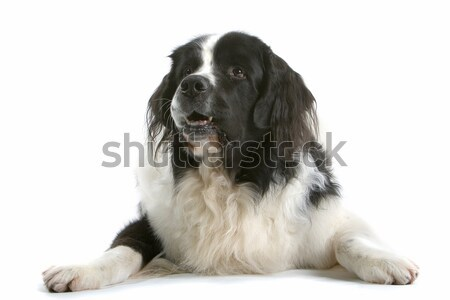 Landseer dog Stock photo © eriklam
