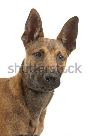 Belgian Shepherd Dog Malinois puppy Stock photo © eriklam