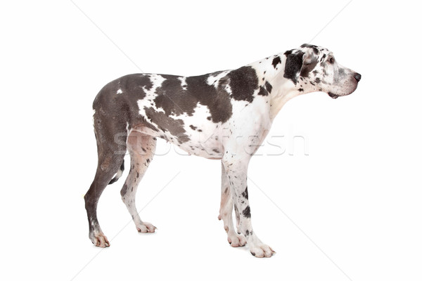 great dane harlequin Stock photo © eriklam