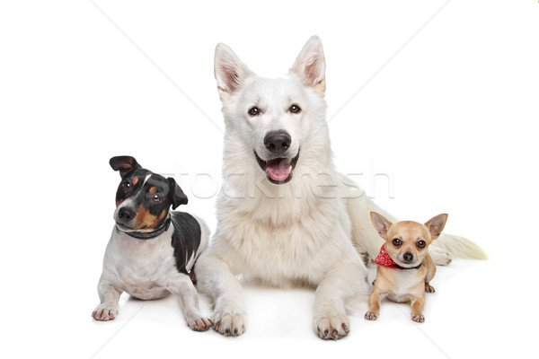 chihuahua,white shepherd and a jack russel terrier Stock photo © eriklam