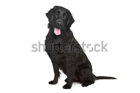Flat-Coated Retriever Stock photo © eriklam