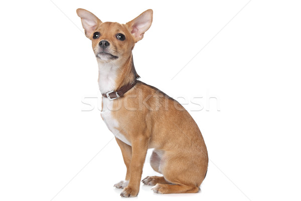 mixed breed dog Stock photo © eriklam