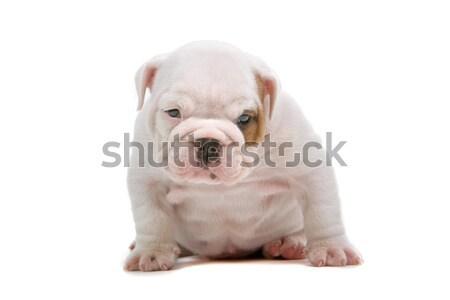 Photo stock: Bulldog · chiot · cute · séance · regarder · caméra