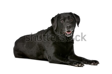 Eleven years old black Labrador Stock photo © eriklam