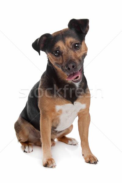 black and tan Jack Russel Terrier Stock photo © eriklam