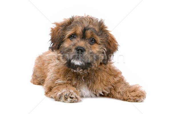 cute boomer puppy Stock photo © eriklam
