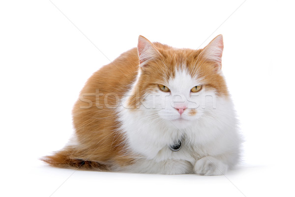 cute british short hair cat Stock photo © eriklam