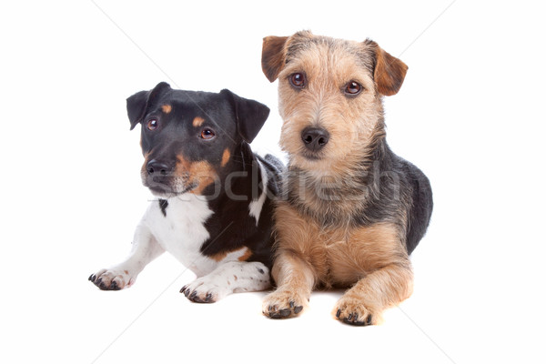 Jack Russel Terrier and mixed breed dog Stock photo © eriklam