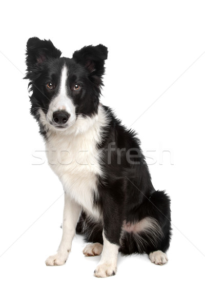 ボーダーコリー 牧羊犬 白 スタジオ ペット 白地 ストックフォト © eriklam