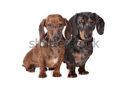 два такса собаки белый собака фон Сток-фото © eriklam