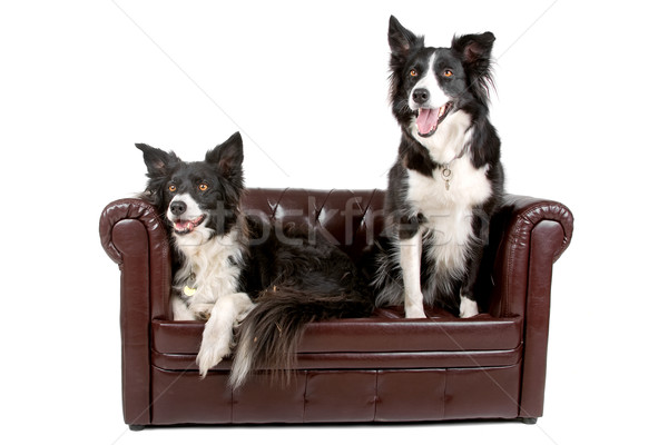 two border collie dogs Stock photo © eriklam