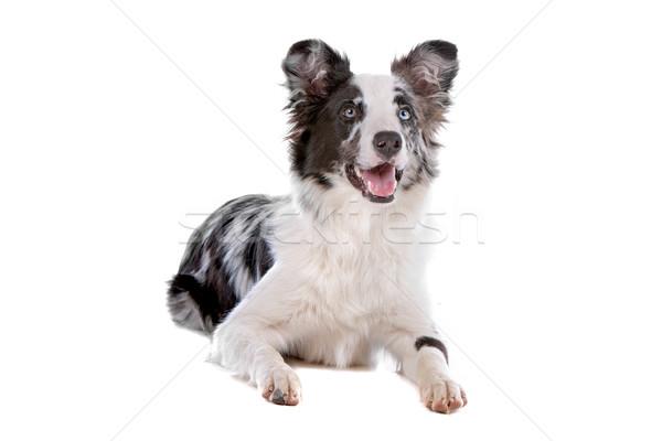 border collie sheepdog Stock photo © eriklam