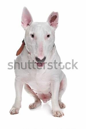 White Bull terrier Stock photo © eriklam