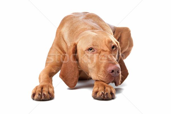 собака фон белый животного Cut Сток-фото © eriklam