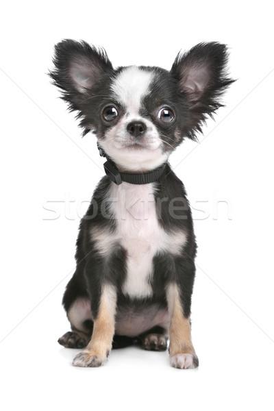 Hosszú hajú kutyakölyök fehér háttér fiatal díszállat Stock fotó © eriklam