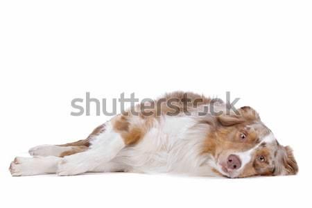 австралийский пастух белый животного устал коричневый Сток-фото © eriklam