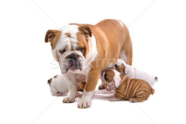 Photo stock: Homme · bulldog · quatre · chiots · anglais