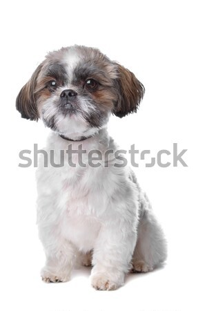 shih tzu Stock photo © eriklam
